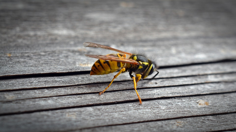 Wasps: Facts and Help for Wasp Phobias